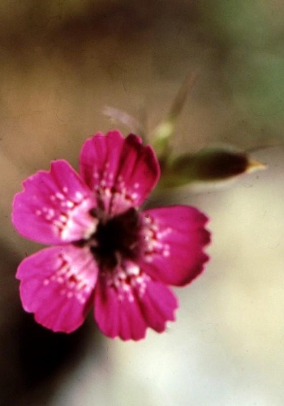 01-dianthus-corymbosus