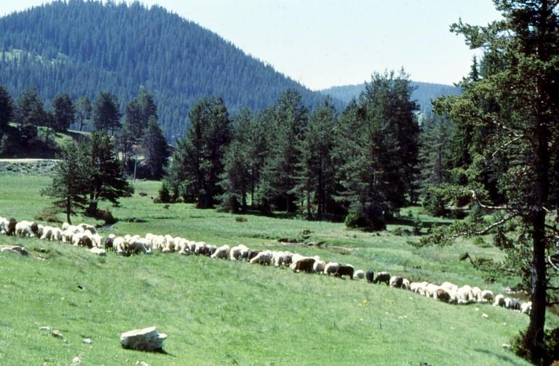 03-beglica-moutons