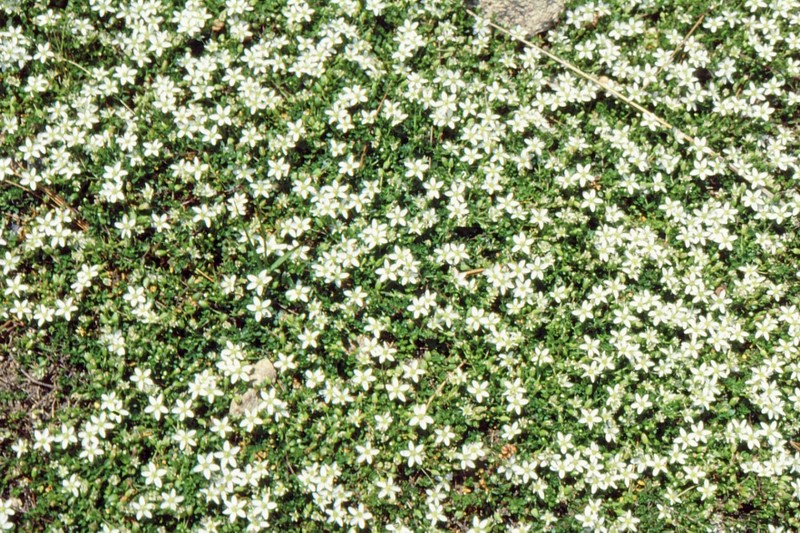 04-arenaria-biflora