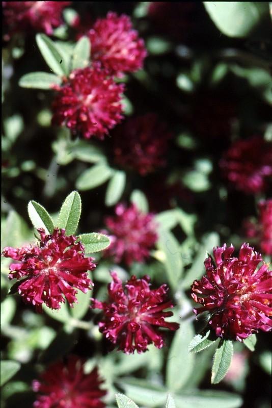 06-trifolium-pratense-ssp-americanum