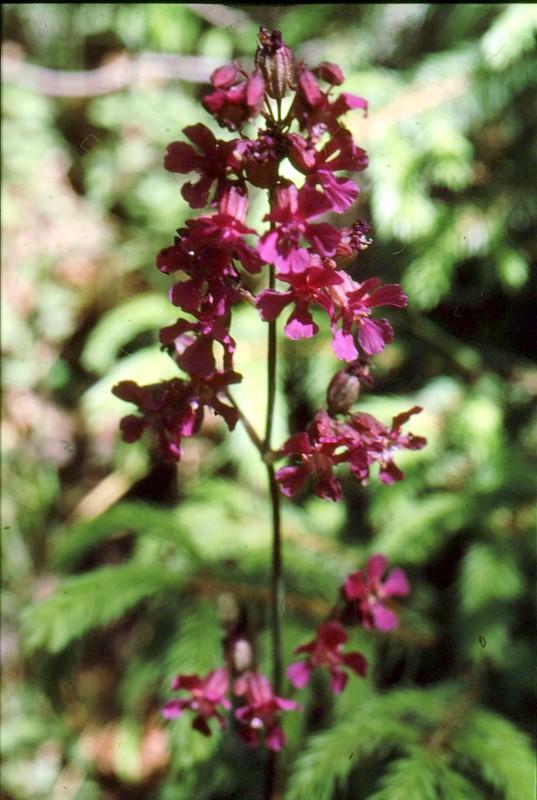 08-lychnis-viscaria subsp atrapurpurea