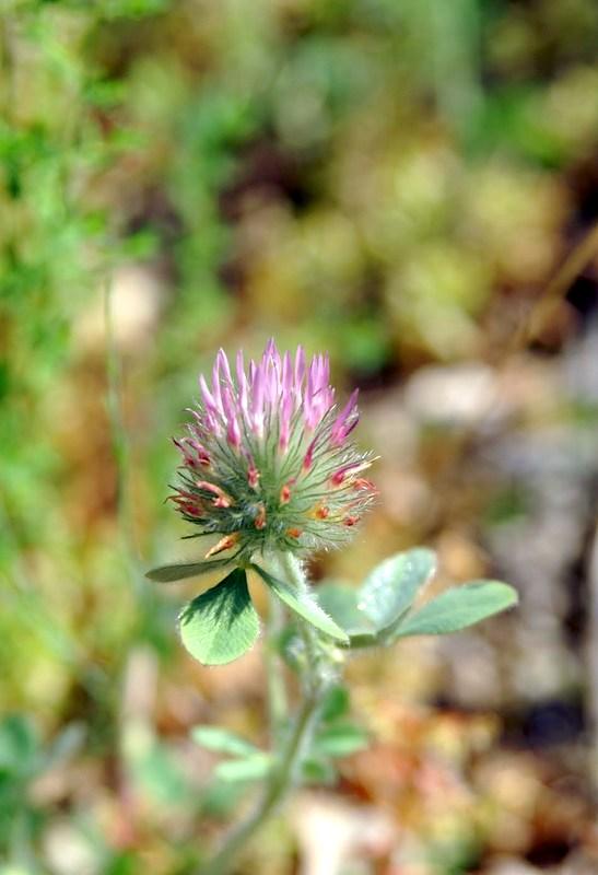 09-trifolium-hirtum