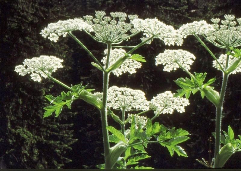 17-herakleum-sphondylium-ssp-verticillatum