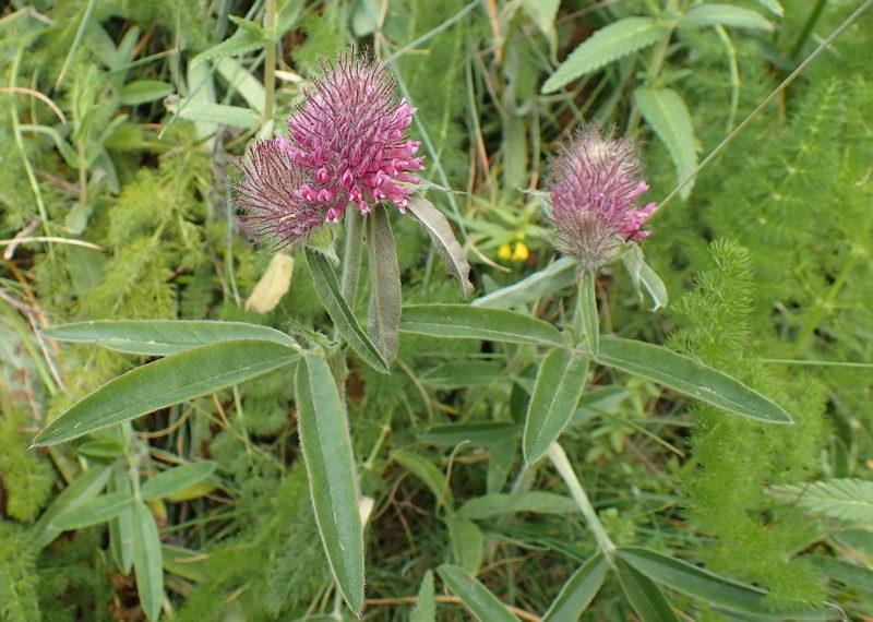 23-trifolium-alpestre