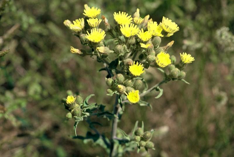 04-andryala-integrifolia
