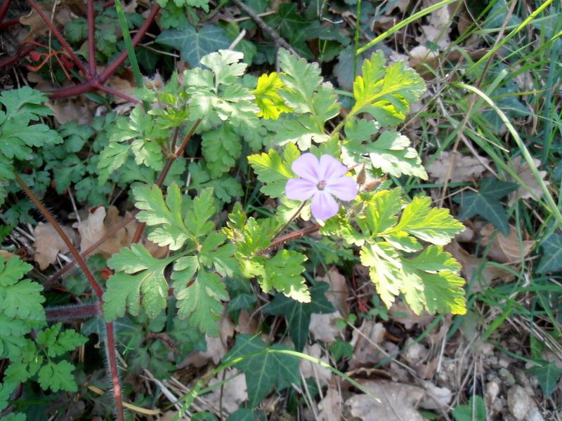 04-geranium-purpureum