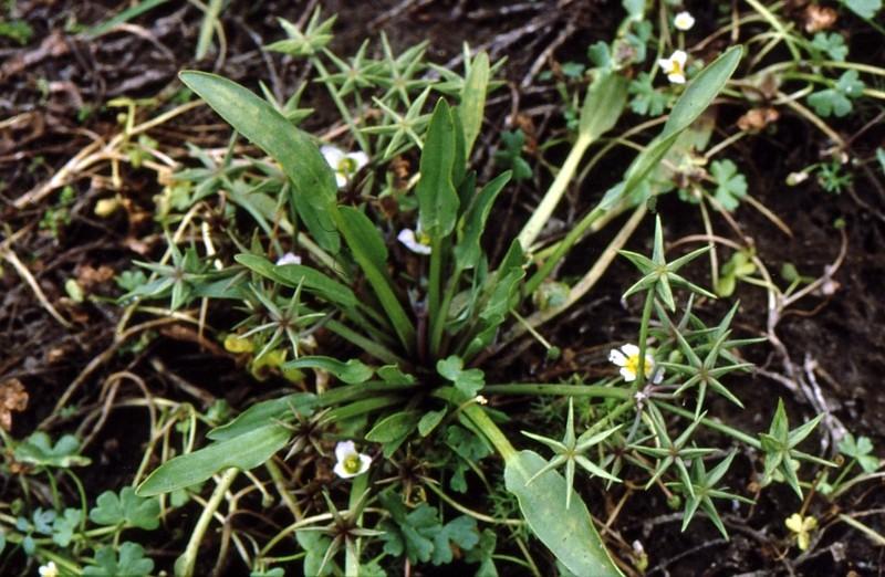 05-damasonium-stellatum-polyspermum