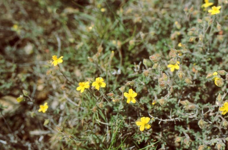 05-fumana-thymifolia