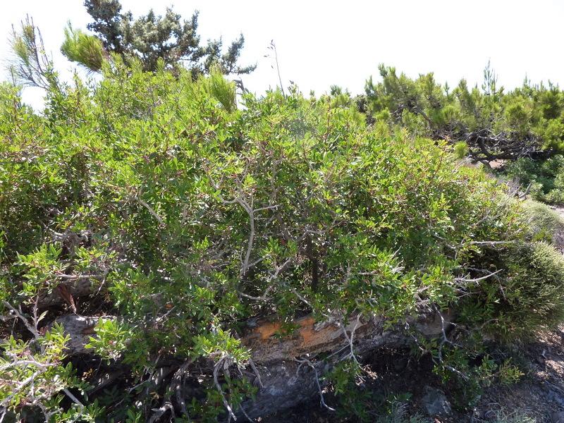 06-pistacia-lentiscus