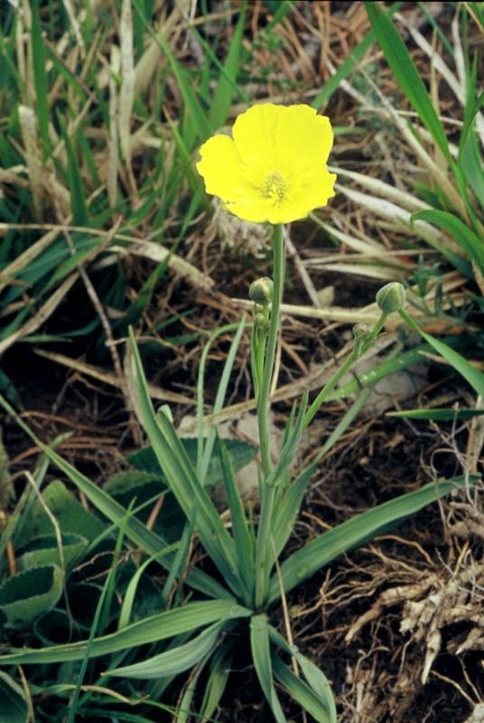 06-ranunculus-gramineus