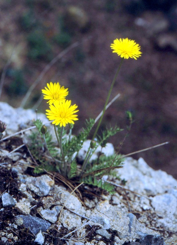 07-hyoseris-radiata