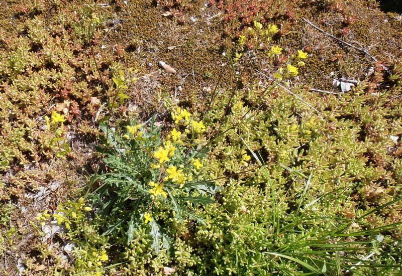 08-biscutella-coronopifolia
