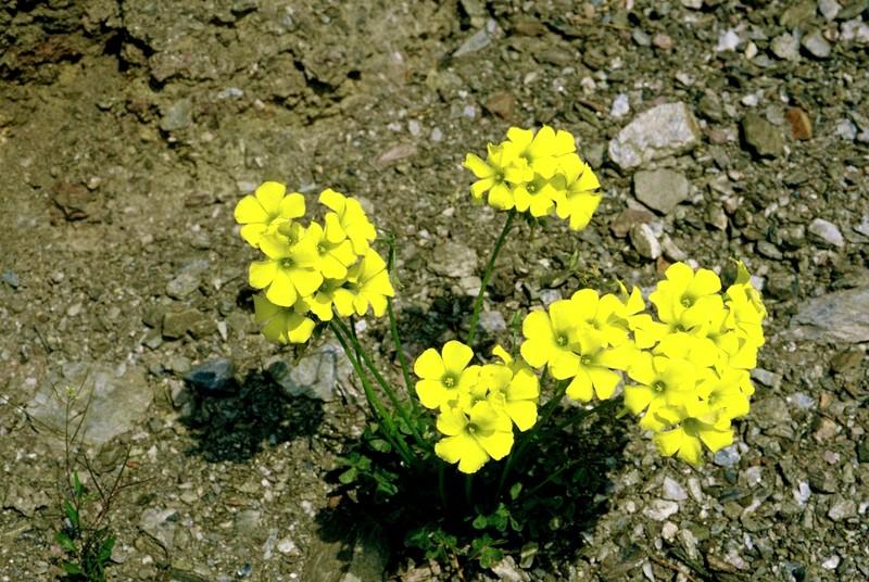 08-oxalis-pes-caprae