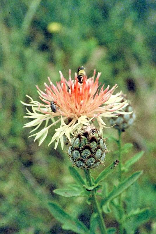 11-centaurea-collina