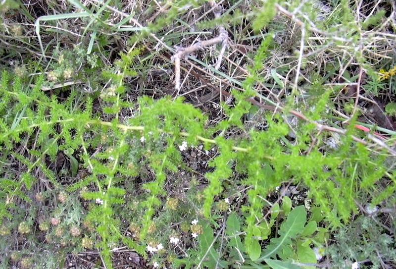 12-asparagus-acutifolius