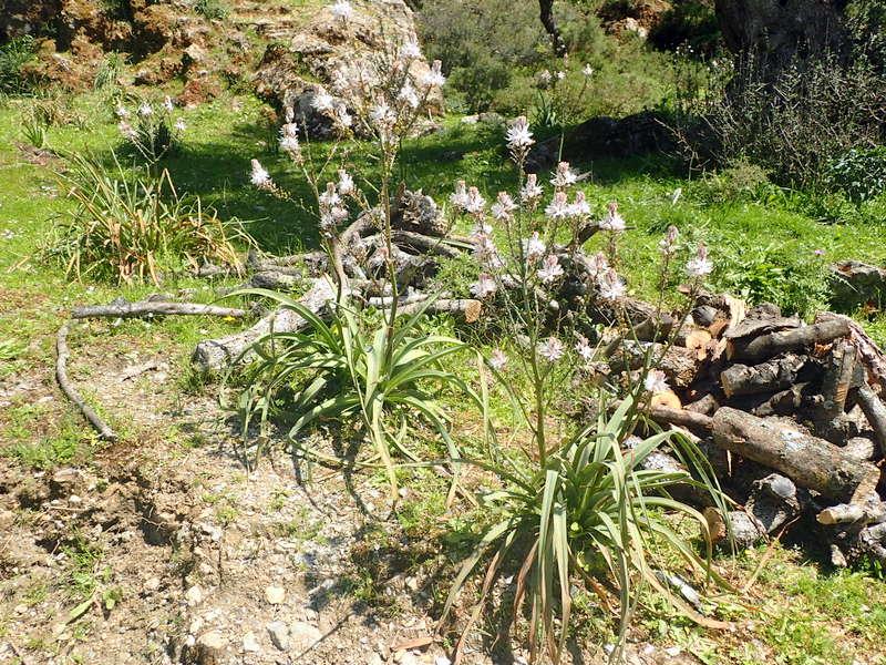 12-asphodelus-ramosus