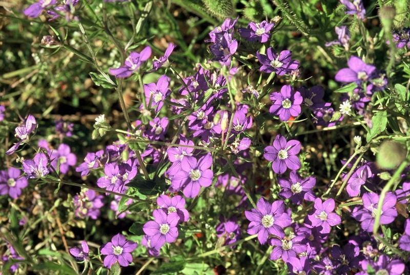 12-legousia-speculum-veneris