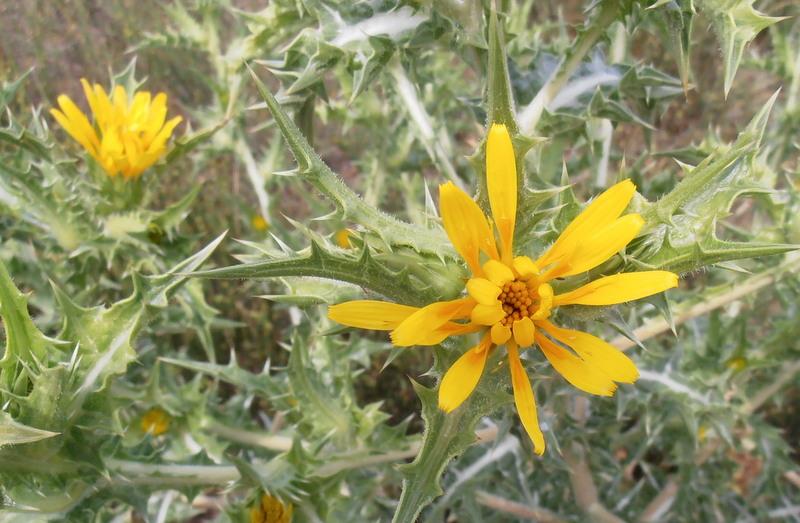 12-scolymus-hispanicus
