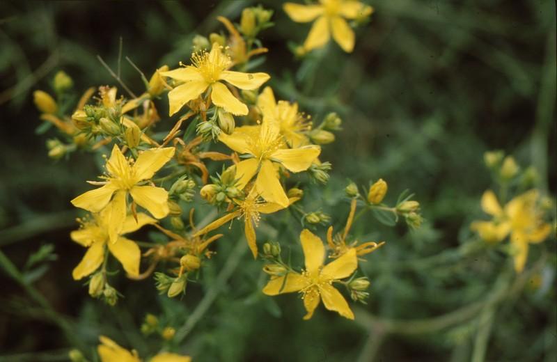 13-hypericum-perfoliatum