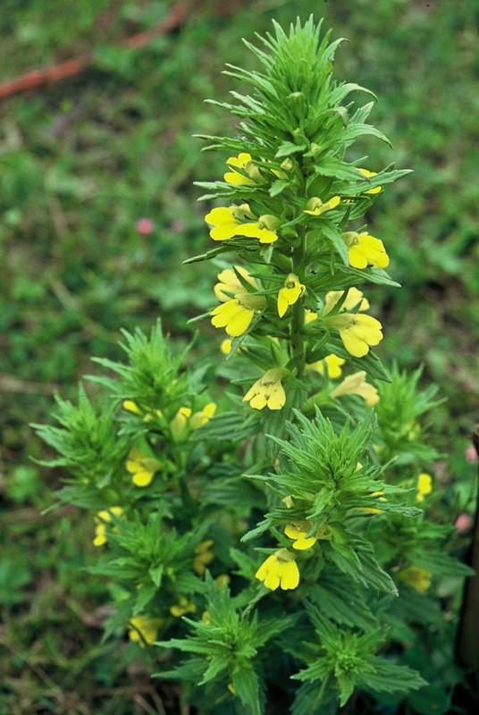 13-parentucellia-viscosa1