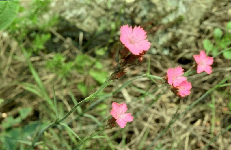 Dianthus cartusianorum