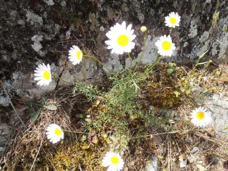 16-leucanthemum-monspeliense