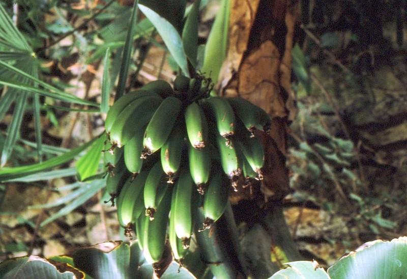 18-bananier-de-j-salabert