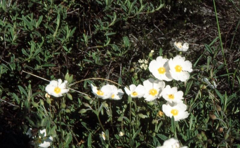18-cistanthemum-sahueicistus-x-sahucii