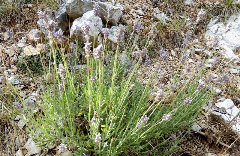 19-lavandula-angustifolia