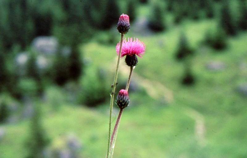 Cirsium canum