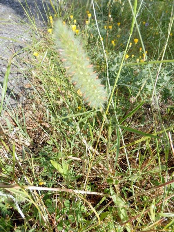 20-trifolium-angustifolium