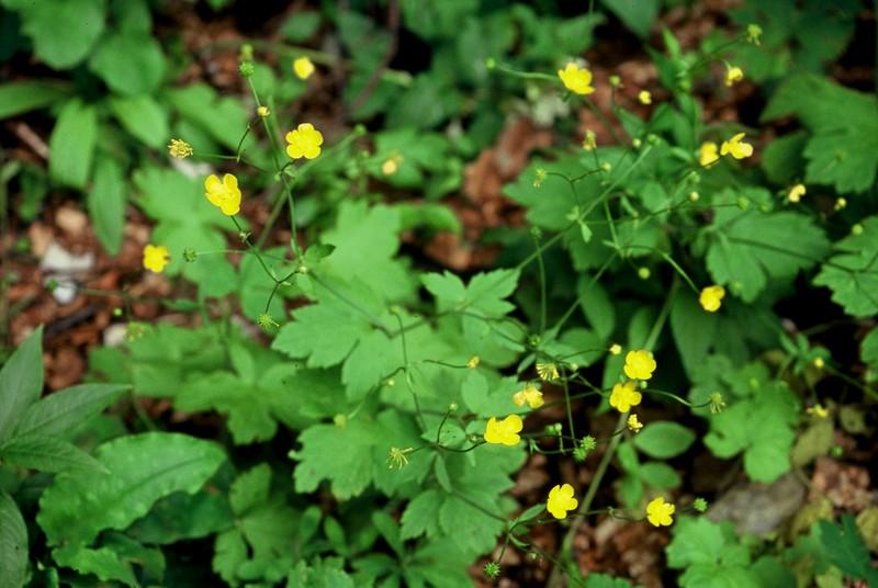 Ranunculus tuberosus ex nemorosus