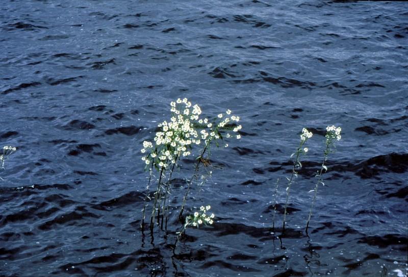 Armoracia rusticana au bord du lac