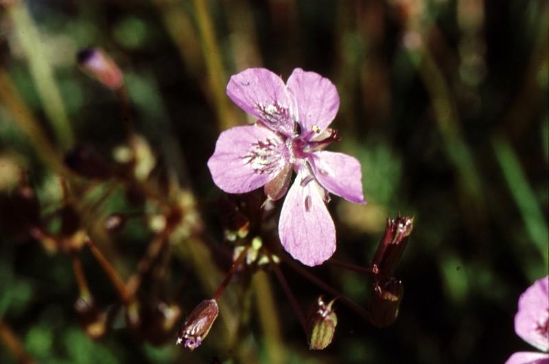 Erodium carvifolium : une fleur