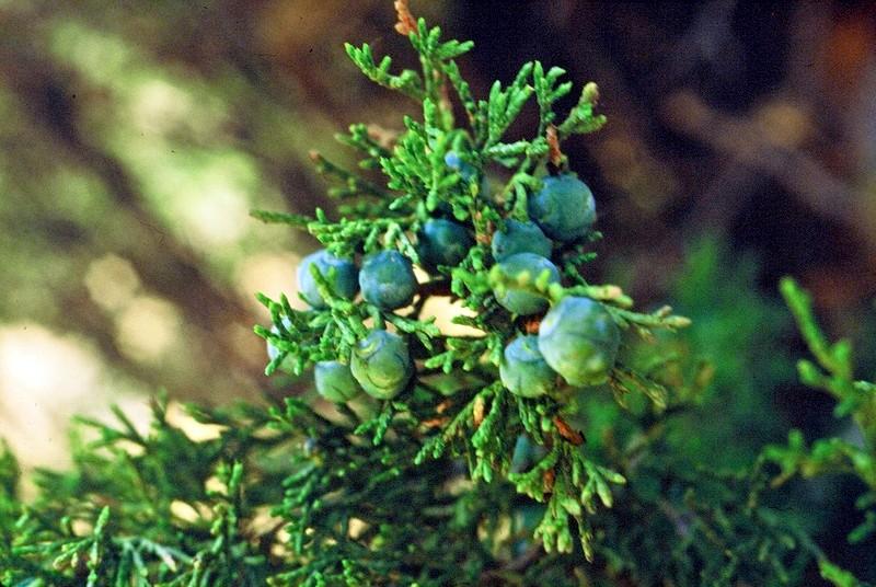 Juniperus thuriferus