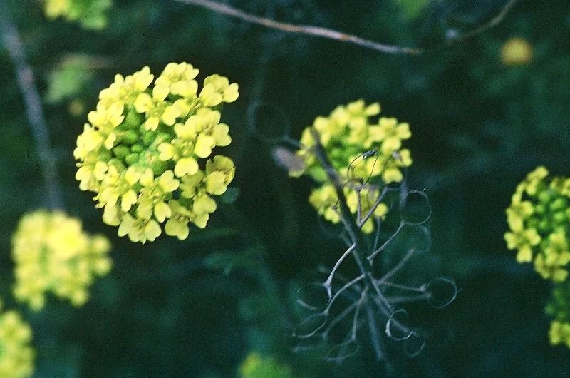 Alyssum montanum