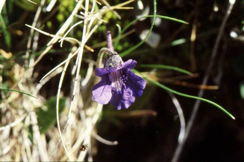 Pinguicula vallisnerifolia
