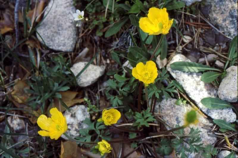 Ranunculus gregarius