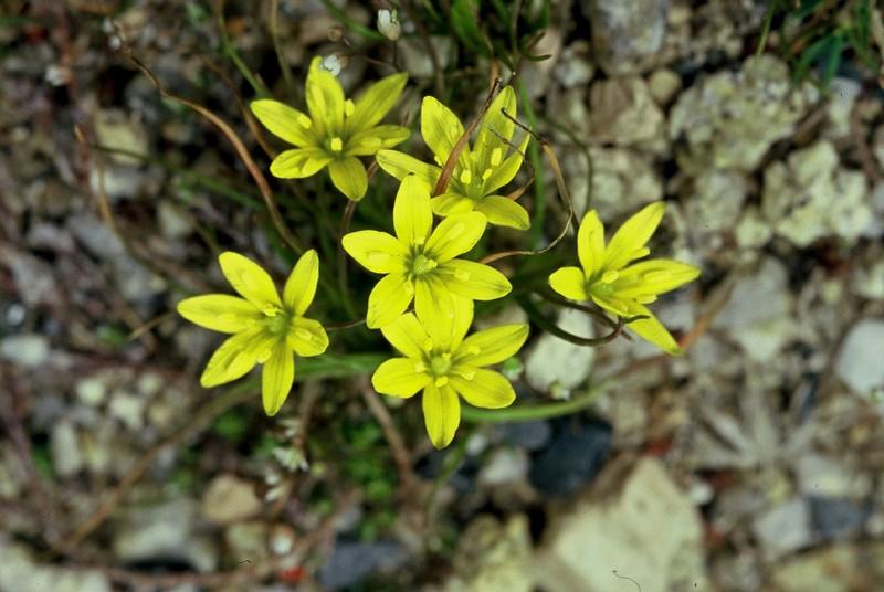 Gagea soleirolii