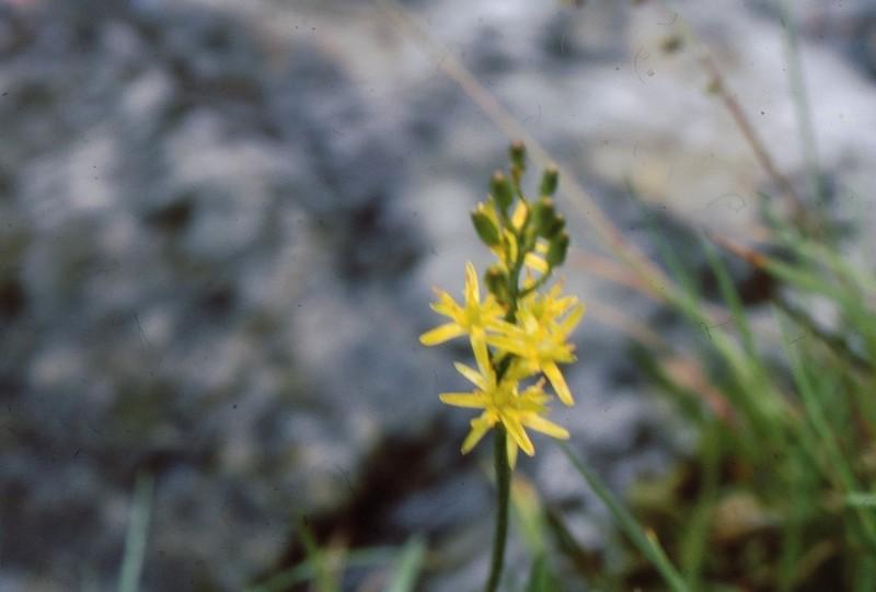 Narthecium ossifraga