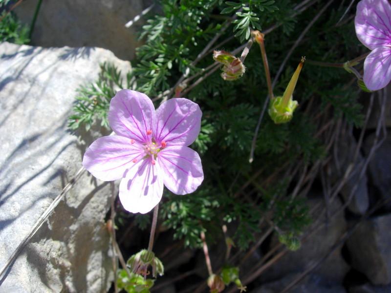 Erodium foetidum ex petraeum