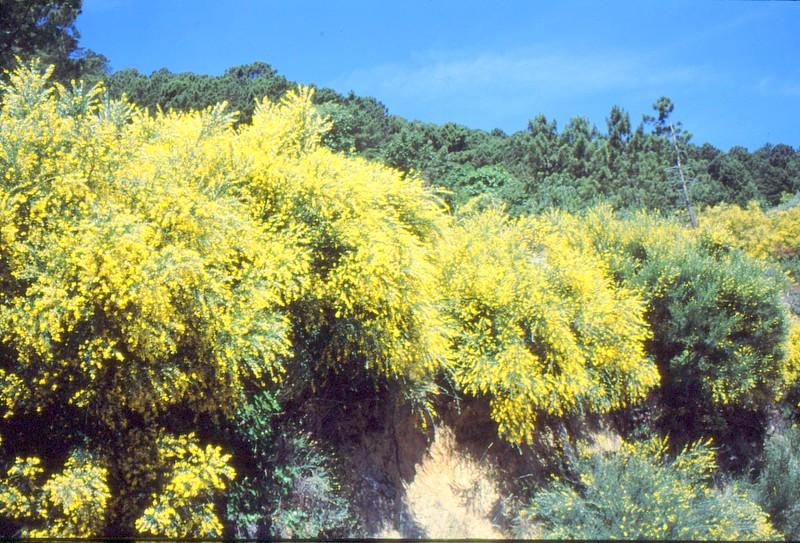 Genista florida