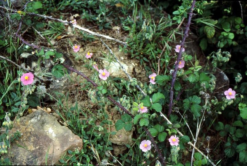 Helianthemum nummularium var roseum