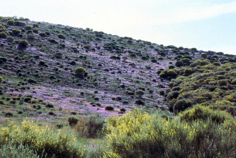 Linaria elegans et Cytisus oromediterraneus