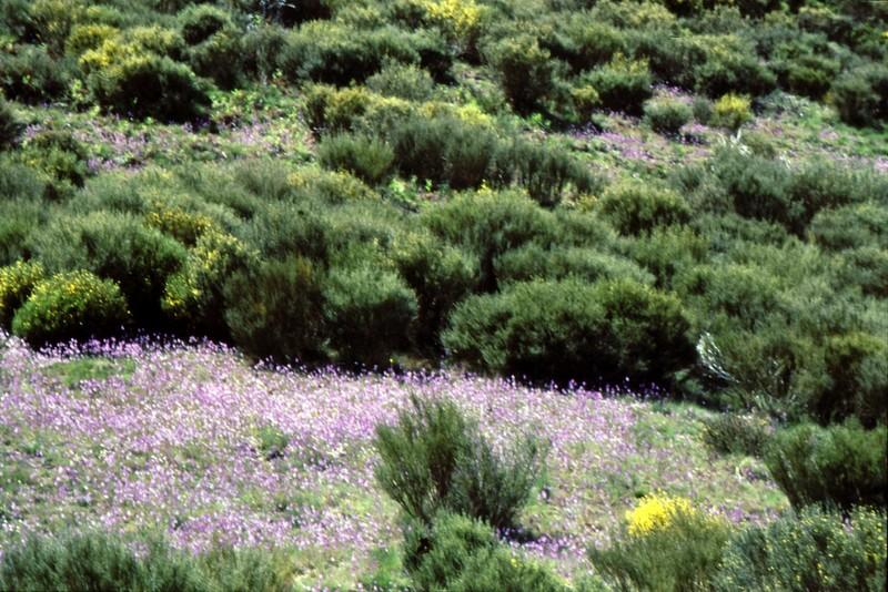 Reserve naturelle de Gredos : Linaria elegans