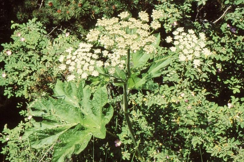 Heracleum pyrenaicum