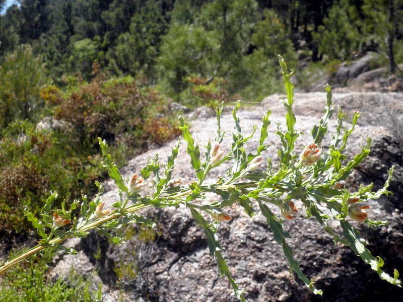 Chamaespartium tridentatum