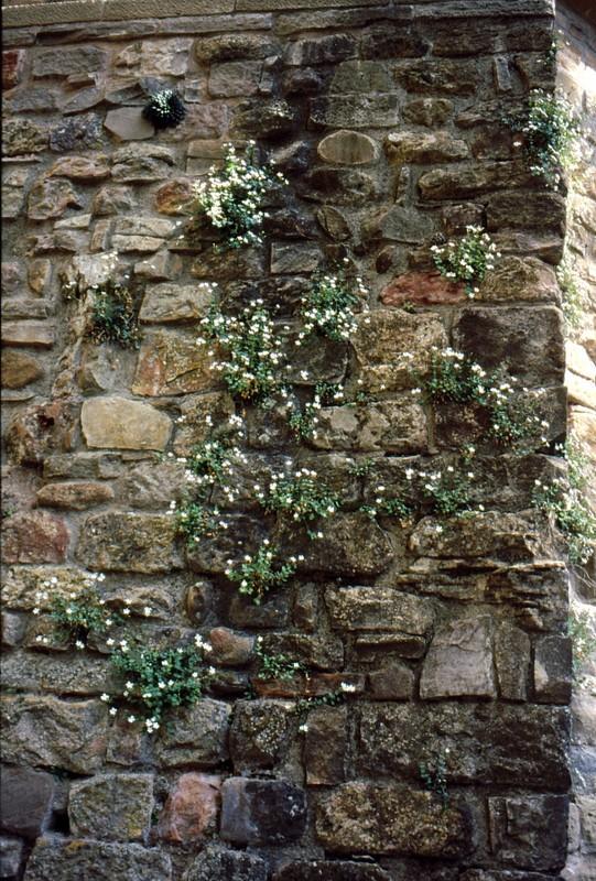mur avec Petrocoptis pyrenaïca