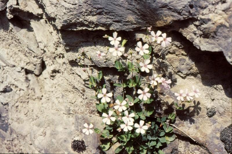Petrocoptis pyrenaïca