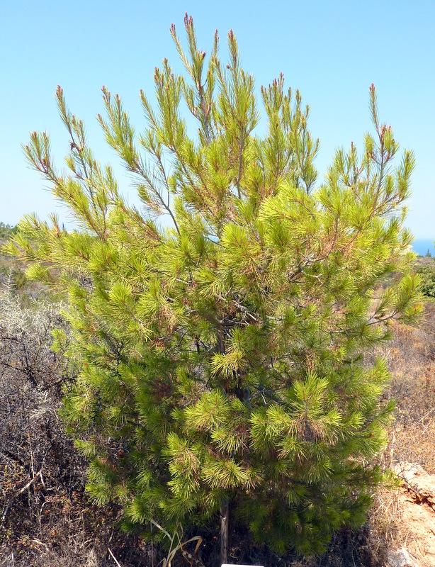 Pin d'Alep : Pinus alepensis